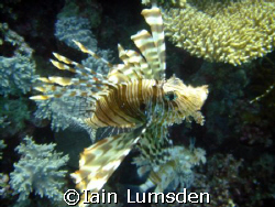 Lion Fish says hello! by Iain Lumsden 